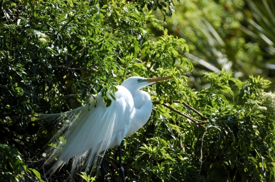 Great Egret by Dan (1)