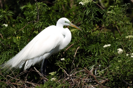 Great Egret by Dan (2)