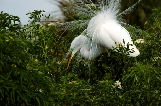 Great Egret by Dan (3)