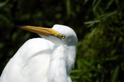 Great Egret by Dan at Gatorland (3)