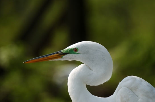 Great Egret by Dan at Gatorland (4)