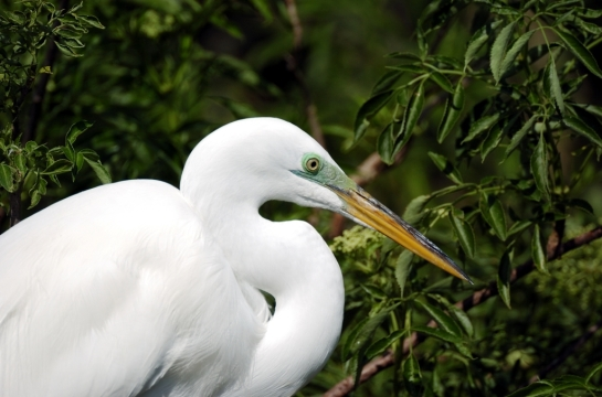 Great Egret by Dan at Gatorland (5)