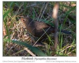 Ian's Bird of the Week ~Pilotbird