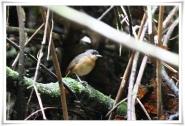 Rusty Mouse-warbler (Origma murina) ©Flickr-Ross Tsai