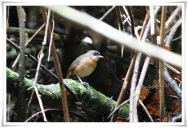 Rusty Mouse-warbler (Crateroscelis murina) ©Flickr-Ross Tsai