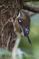Scrubtit (Acanthornis magna) ©WikiC