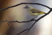 PAS-Acaz Yellow-rumped Thornbill (Acanthiza chrysorrhoa) ©WikiC