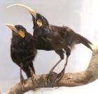Huia (Heteralocha acutirostris) ©WikiC