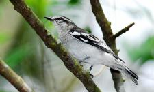 Pied Triller (Lalage nigra) ©WikiC