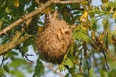 Orchard Oriole (Icterus spurius) Nest ©HenryTMcLin Flickr