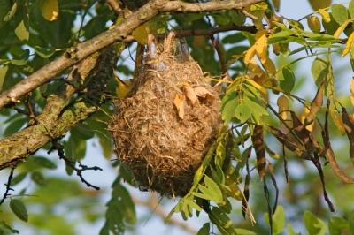 Orchard Oriole (Icterus spurius) Nest ©HenryTMcLin Flickr