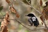 Black-backed Puffback (Dryoscopus cubla) ©WikiC
