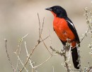 Crimson-breasted Shrike (Laniarius atrococcineus) ©©