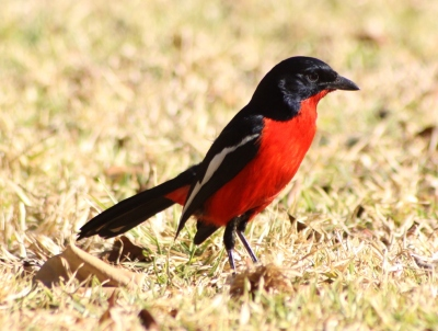Crimson-breasted Shrike (Laniarius atrococcineus) ©WikiC