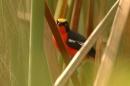 Papyrus Gonolek (Laniarius mufumbiri) ©WikiC