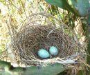 Southern Boubou (Laniarius ferrugineus) nest ©WikiC