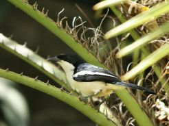 Tropical Boubou (Laniarius major) ©Wiki