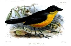 Yellow-breasted Boubou (Laniarius atroflavus) ©Drawing WikiC