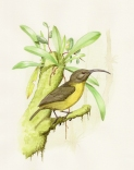 Slaty-headed Longbill (Toxorhamphus poliopterus) ©Drawing WikiC