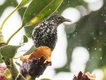 Spotted Berrypecker (Rhamphocharis crassirostris) ©Flickr David Cook