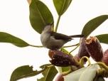 Spotted Berrypecker (Rhamphocharis crassirostris)