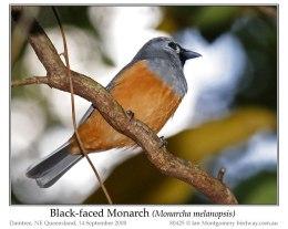 Ian's Bird of the Week – Black-facedMonarch