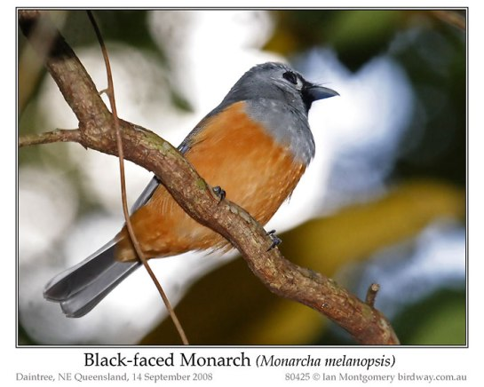 Black-faced Monarch (Monarcha melanopsis) by Ian