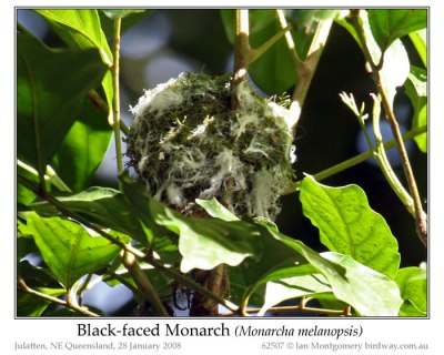 Black-faced Monarch (Monarcha melanopsis) Nest by Ian