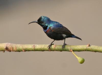 Purple Sunbird (Cinnyris asiaticus) ©WikiC-J M Garg