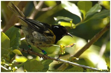 Stitchbird (Notiomystis cincta) by Tom Tarrant
