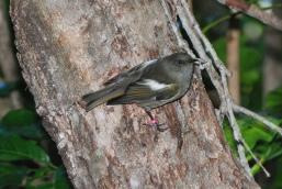 Stitchbird (Notiomystis cincta) female ©Flickr Kathrin -Stefan Marks