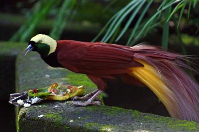 Raggiana Bird-of-paradise (Paradisaea raggiana) ©WikiC