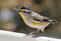 Striated Pardalote (Pardalotus striatus ornatus) with nesting material in its beak ©WikiC