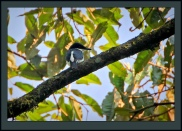 African Shrike-flycatcher (Megabyas flammulatus) ©Flickr Steve Garvie