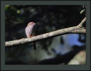 African Shrike-flycatcher (Megabyas flammulatus) Female ©Flickr Steve Garvie
