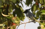 Black-and-white Shrike-flycatcher (Bias musicus) by Tom Tarrant