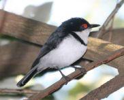 Black-throated Wattle-eye (Platysteira peltata) Male ©WikiC