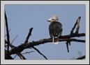 Grey-crested Helmetshrike (Prionops poliolophus) ©WikiC