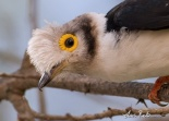 White-crested Helmetshrike (Prionops plumatus) ©WikiC