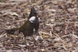 Eastern Whipbird (Psophodes olivaceus) ©Flickr Leo