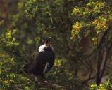 Eastern Whipbird (Psophodes olivaceus) ©Flickr Pierre Pouliquin