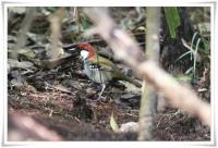 Spotted Jewel-babbler (Ptilorrhoa leucosticta) ©Flickr Ross Tsai
