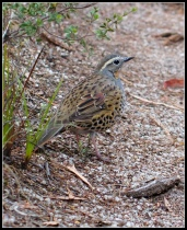 Spotted Quail-thrush (Cinclosoma punctatum) ©Flickr Bill Higham