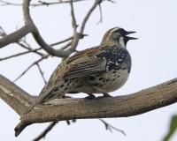 Spotted Quail-thrush (Cinclosoma punctatum) ©LipKeeYap