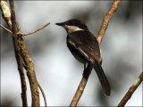 Bar-winged Flycatcher-shrike (Hemipus picatus) by Ian