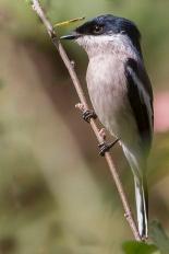 Bar-winged Flycatcher-shrike (Hemipus picatus) ©WikiC