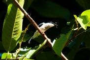 Black-winged Flycatcher-shrike (Hemipus hirundinaceus) by MAMuin