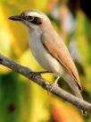 Common Woodshrike (Tephrodornis pondicerianus) ©WikiC