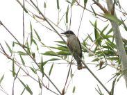 Malabar Woodshrike (Tephrodornis virgatus sylvicola) ©WikiC
