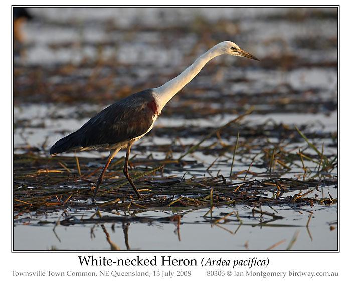 White-faced Heron (Ardea Pacifica) by Ian